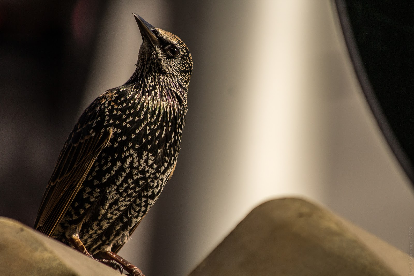 Photo by Pascal Sommer - A bird waiting for tourists to drop some of their food in Camden Town