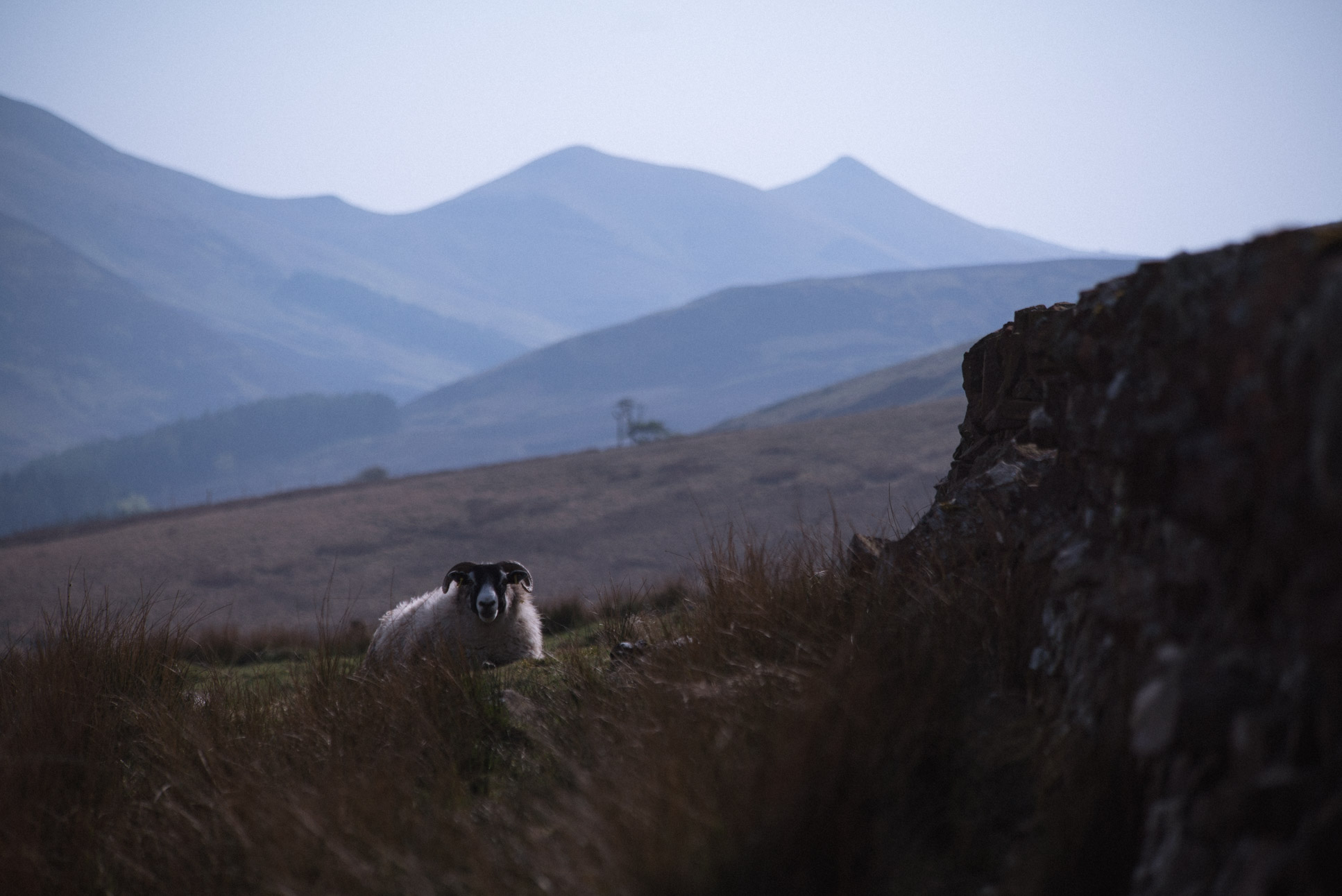 One of the thousands of sheep on Pendland Hills